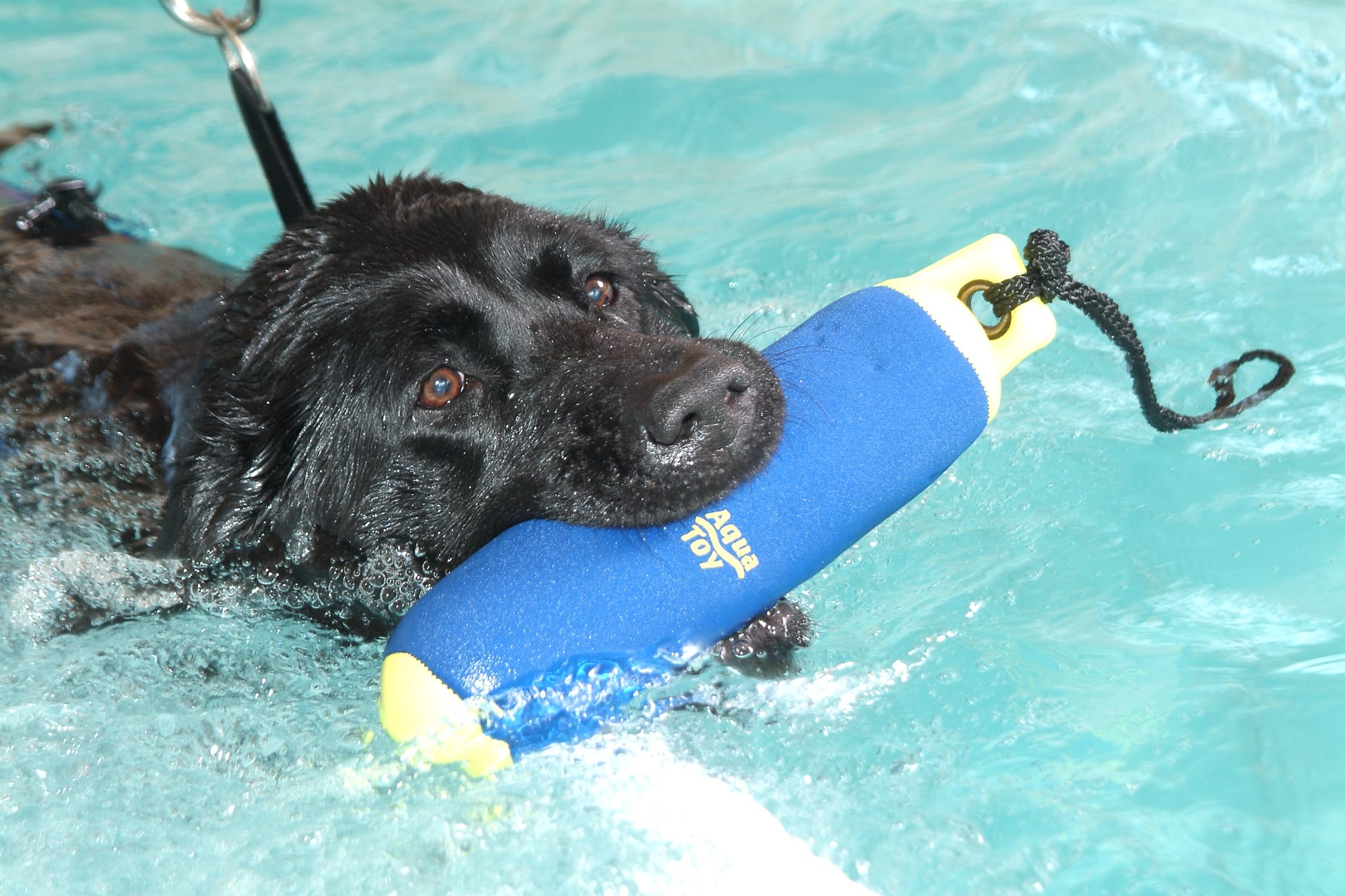 Lab swimming with toy